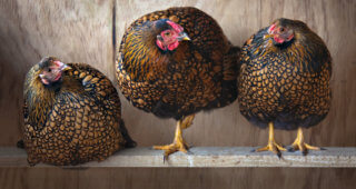 three hens socializing
